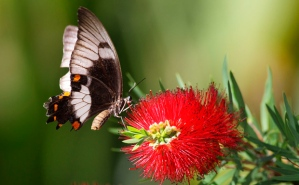 Australian-butterfly-on-Callistemon
