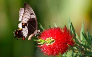 Australian-butterfly-on-Callistemon