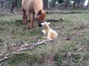 lamb 6