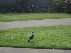 Magpie in a garden - it was strutting around fearlessly and I could get quite close