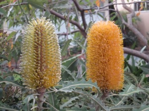 Banksia blooming across the road from my place