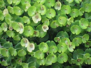 Euphorbia close up