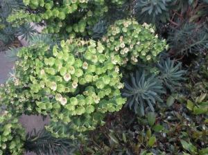 Euphorbia again
