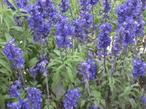Salvias - love that blue