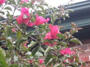 Bougainvillia - not sure of the spelling!