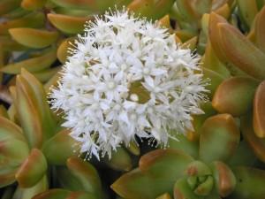 Succulent in flower