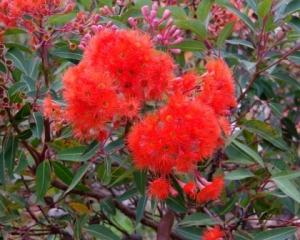 CorymbiaFicifolia