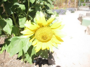 sunflowers at Aldinga 2