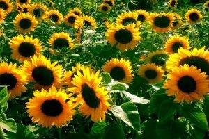 Sunflowers hw