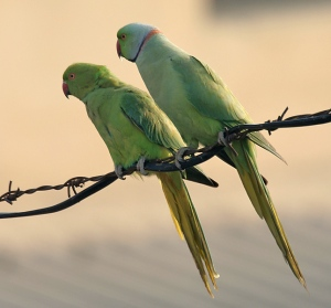 Indian-Ring-Necked-Parrot