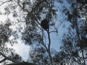 koala 8