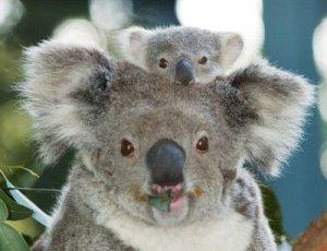 koala_bear