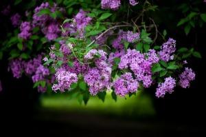 lilcac blossom