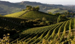 Muscadel faces down frost
