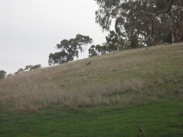 lambs and kangas 10