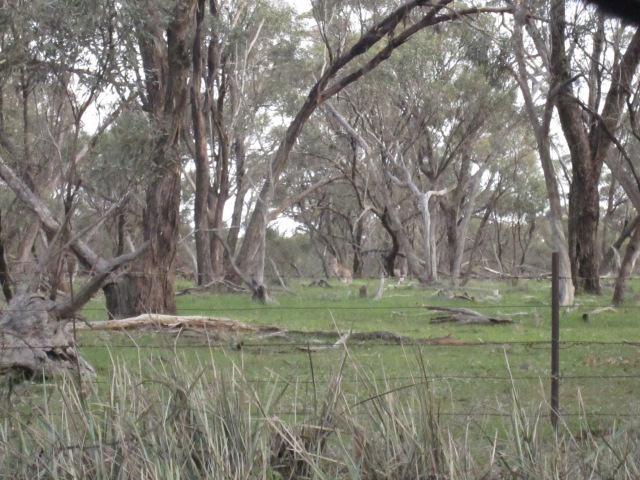 lambs and kangas 3