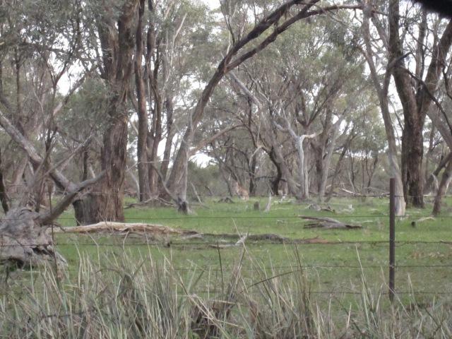 lambs and kangas 3