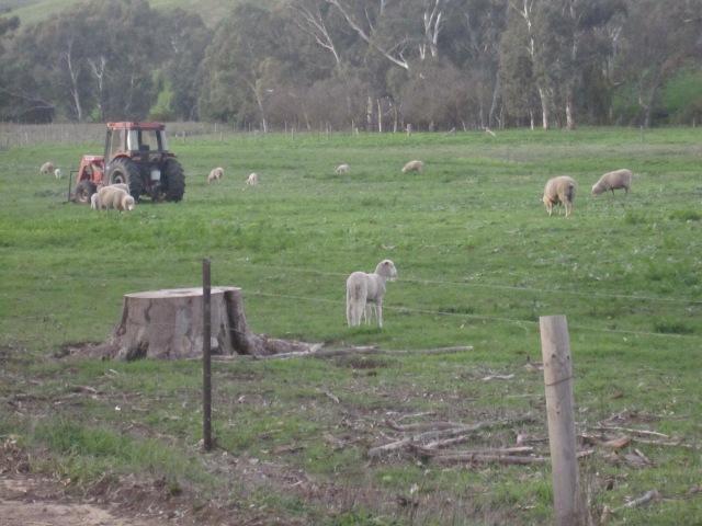lambs and kangas 5