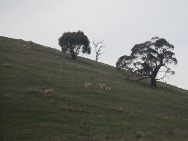 lambs and kangas 7