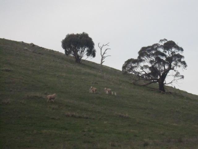 lambs and kangas 7