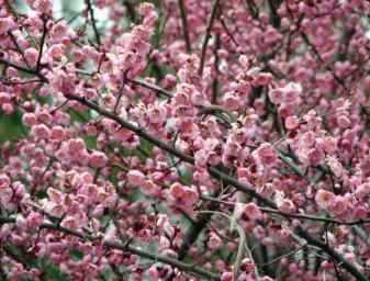 prunus blossom on line