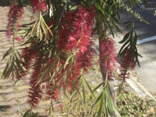 bottlebrush-12
