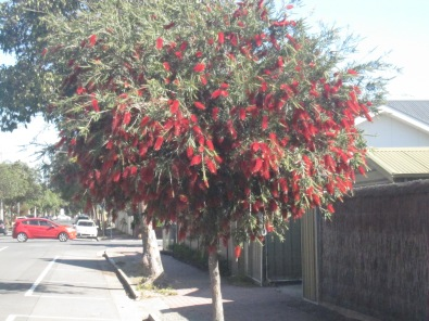 bottlebrush-14