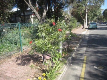 bottlebrush-15