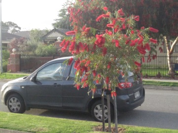 bottlebrush-2