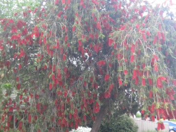 bottlebrush-4