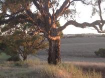 Light on the gum tree, evening