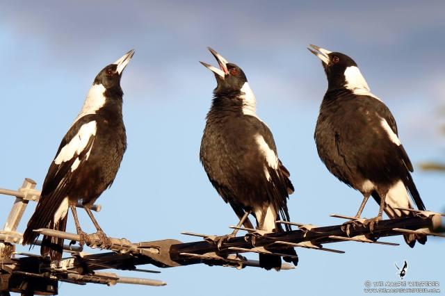 australian-magpie-4