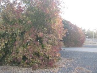 A line of said pretty trees