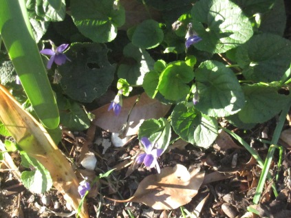Violet violets and their green leaves