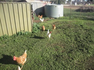 Chooks following us in the newly mown paddock
