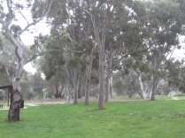 Gum trees in the park