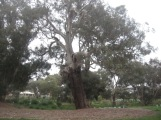 Beautiful old red gum in the park