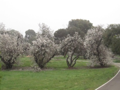 Almond trees in blossom just past the railway line