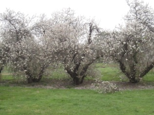 More almond trees