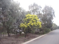 Wattle tree blooming