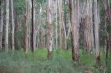 Kuitpo trees