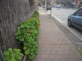Geranium hedge