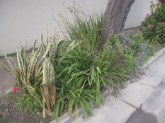 Some tatty looking sanseverias on the left and other bits growing around a post