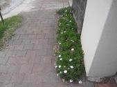 Tiny daisy thingies