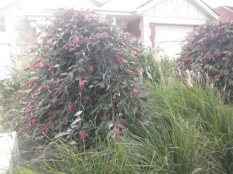 Lovely pink weeping thing. Looks like a native