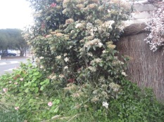 Photinia on a corner