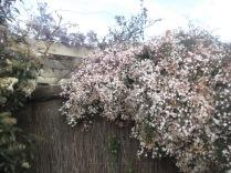 Fulsome jasmine