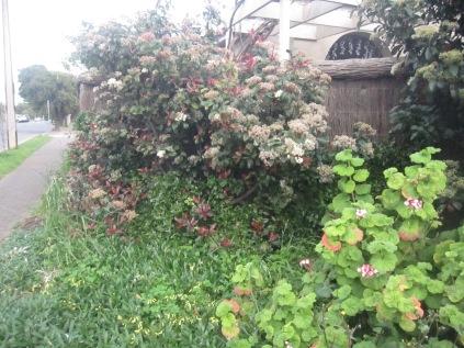 Geranium, photinia, ground cover