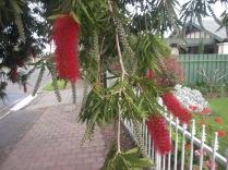 Bottlebrushes are flowering too