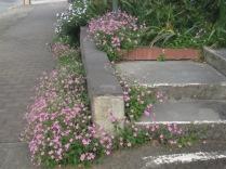 The little pink flowers again, growing around some steps up into someone's garden